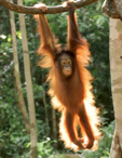 Orangutan_pullup