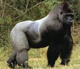 gorillastrength